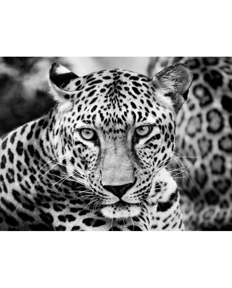 Fotografia artistica blanco y negro cuadro joven leopardo descripci - Blanco y negro paint ...
