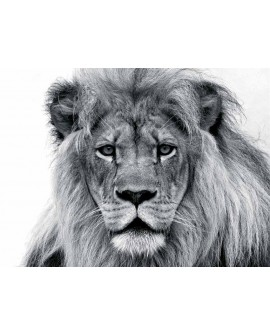 Fotografia artistica blanco y negro cuadro rey leon Home