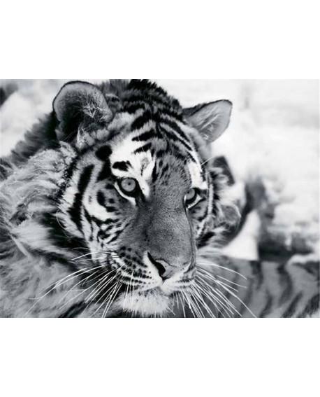 Fotografia artistica blanco y negro cuadro tigre felino Home